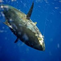 Kite Fishing for Sailfish, Mahi-Mahi, Tuna, Kingfish, and Wahoo
